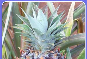 Visit a Maui pineapple field while on your Maui beach vacation!