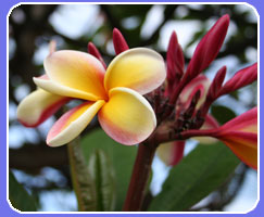 Maui condo rentals always include fragrant plumeria and other flowers are in abundance to delight your senses with their tropical scent. Our privately owned  Maui condo rentals provide the perfect Maui vacation rental opportunity and you can save with last minute Maui vacation rental offers.